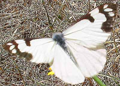 Pine White Butterfly in motion