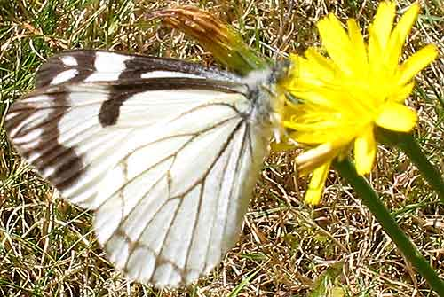 Pine White Butterfly (side view)